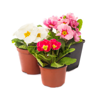 primula in pot isolated