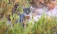 Falbkatze oder Afrikanische Wildkatze, Etosha-Nationalpark, Namibia, (Felis silvestris) | African wild cat, Etosha National Park, Namibia, (Felis silvestris)