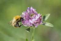 Langhornbiene bei der Pollensuche