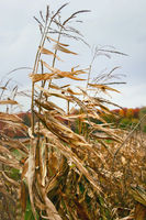 Dried corn stalks in autumn