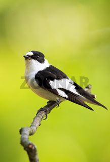Scared black and white european pied flycatcher sitting on the thin twig