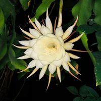 Blüte der Königin der Nacht