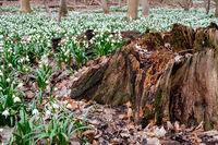 Naturschutzgebiet Ballenstedt Zehling Märzenbecher