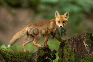 Young red fox walking on tree trunk in springtime nature