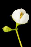 Blossom an a bud left of philadelphus coronarius