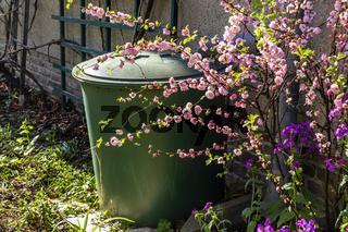Regentonne mit blühenden Ziermandelstrauch, rain barrel with flowering almond