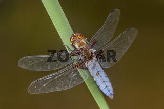 Plattbauch-Libelle 'Libellula depressa' männlich