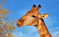 Giraffe, Kgalagadi-Transfrontier-Nationalpark, Südafrika, (Giraffa) | Giraffe, Kgalagadi Transfrontier National Park, South Africa, (Giraffa)