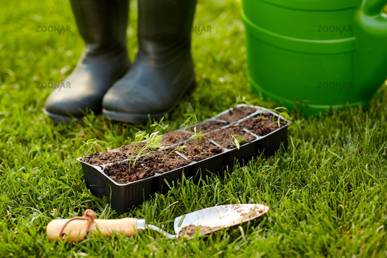 seedlings in starter pots tray with soil at garden