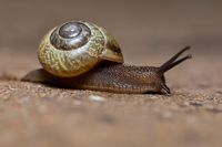 macro of small Garden snail