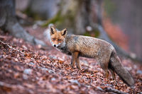 Beautiful red fox with fluffy tail hunting in the forest during autumnal season