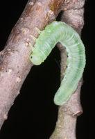 Green butterfly larva