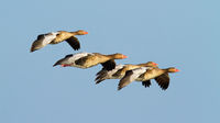Flock of greylag goose flying against clear blue sky at sunset