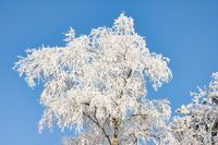 Winter landscape, Birch tree covered with hoarfrost and blue sky
