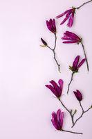 Flowering branches of dark pink Magnolia.