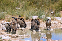 Weißrückengeier im Etosha-Nationalpark nah der Pfanne, Namibia |  white-backed vultures at Etosha National Park near Etosha pan, Namibia