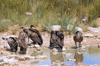 Weißrückengeier im Etosha-Nationalpark nah der Pfanne, Namibia |  white-backed vultures at Etosha National Park near Etosha pan, Namibia