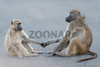 Baboon family in the wilderness