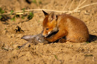Cute red fox cub sitting on the ground and sniffing dead rabbit in spring nature