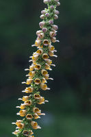 wooly foxglove (Digitalis lanata) ,Germany