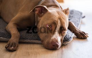 Dog lying on wooden floor indoors, brown amstaff terrier resting with big sad eyes.