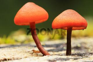 Small orange mushrooms, Yoho National Park, Canada