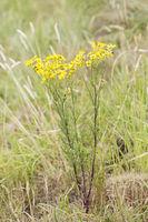 Jakobs-Greiskraut, Senecio jacobaea, Jacobs Herb