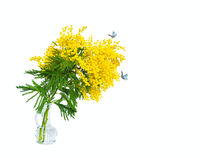 Beautiful mimosa flower blossom in glass vase, butterflys isolated on white background, macro. Shallow depth. Spring floral mixed art. Artistic image. Pastel toned. Springtime closeup