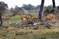 Impalas auf einer Lichtung im Okavango Delta