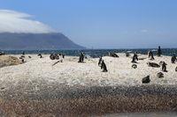 Afrikanische Pinguine an der Boulders Beach mit Blick zum Tafelberg