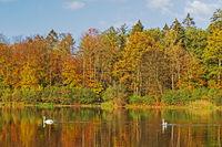 Teich mit Wald im Herbstlaub mit Schwänen