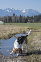 Beagle vor Benediktenwand