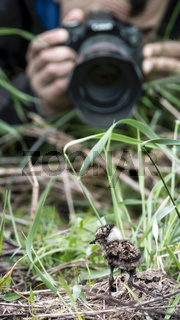 Little lapwing chick hiding in the grass
