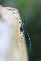 Rosalia longicorn (Rosalia alpina) or Alpine longhorn beetle