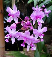 Schmetterlingsorchidee, Malaienblume, Phalaenopsis