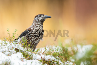 Little spotted nutcracker standing on grass in winter.