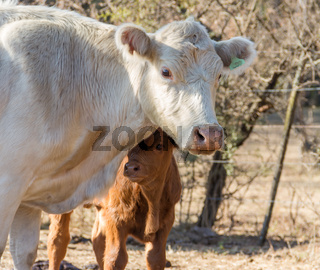 brangus cows and calves in the Argentine countryside