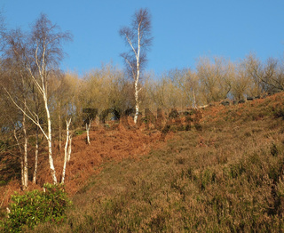 a steep hillside covered in heather and bracken with winter birch trees against a blue sunlit sky