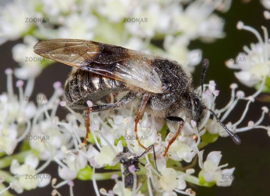 Geißblatt-Keulenhornblattwespe  'Abia fasciata'
