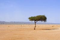 Einzelner Baum in der Sahara