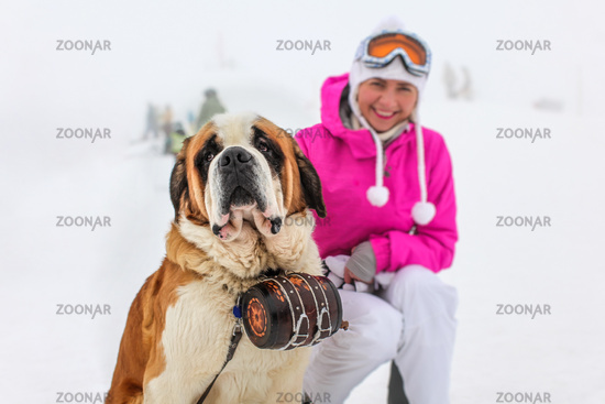Saint Bernard Dog with iconic barrel sitting in the snow with blurred young woman in pink ski jacket in background.