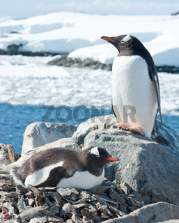 Male and female Gentoo penguins near the nest.