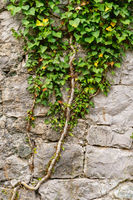 Old medieval wall overgrown with ivy