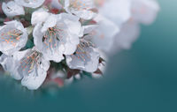 Flowering cherry isolated on blue .Spring background.