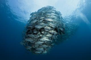 Schwarm Großaugen-Stachelmakrelen, Mexiko