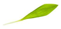 leaf of fresh wild garlic (ramson) isolated