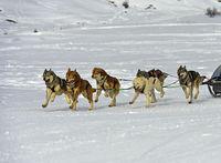 Schlittenhundeteam Sibirische Huskys