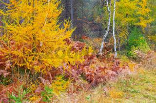 gelbe Lärchen im Herbstwald - yellow larches in the autumn forest