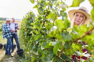 Weinbauern und Erntehelfer bei der Weinlese