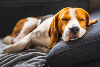 Adorable beagle hound in bright interior background. A pet sitting on the sofa with sad face